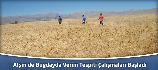 Afşin'de Buğdayda Verim Tespiti Çalışmaları Başladı