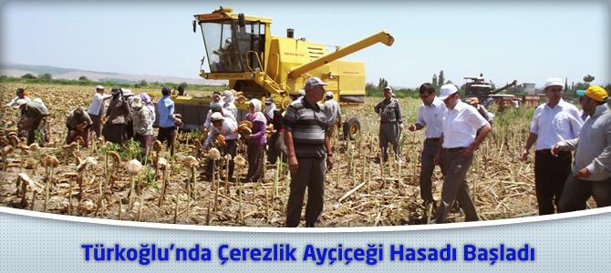 Türkoğlu'nda Çerezlik Ayçiçeği Hasadı Başladı.