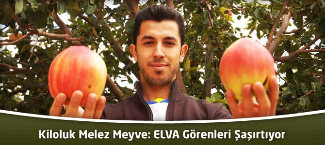 Kiloluk Melez Meyve: ELVA Görenleri Şaşırtıyor