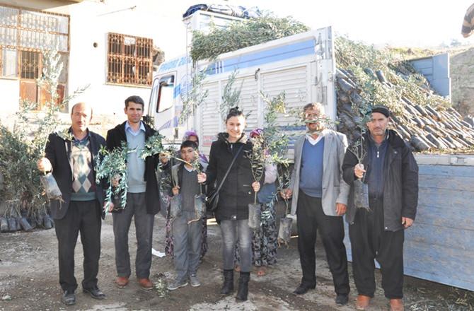 130.000 adet zeytin fidanı dağıtımına başlandı (2)