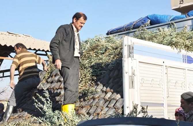 130.000 adet zeytin fidanı dağıtımına başlandı (7)