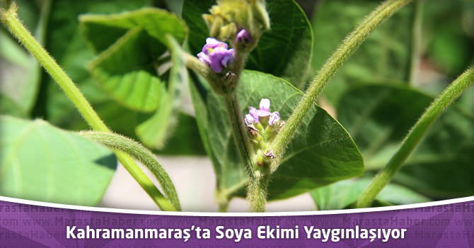 Kahramanmaraş'ta Soya Ekimi Yaygınlaşıyor