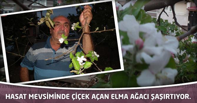 Hasat mevsiminde çiçek açan elma ağacı şaşırtıyor.