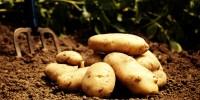 Patatesin Kilosu 5 TL Oldu, Vatandaş Tarlaya Akın Etti