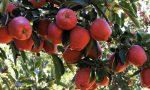 Meyvenin Alası, Göksun'un Elması