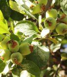 Elmalar Çiçek Açıp Meyve Vermeye Başladı