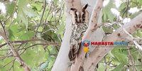 Kahramanmaraş'ta Kulaklı Baykuş Görüldü