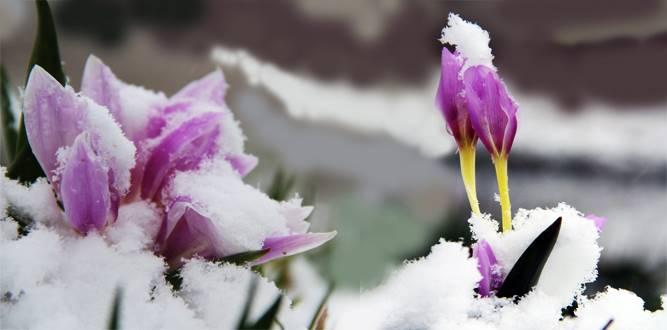Ani Bastıran Kar, Doğadaki Çiçekleri Kar Altında Bıraktı