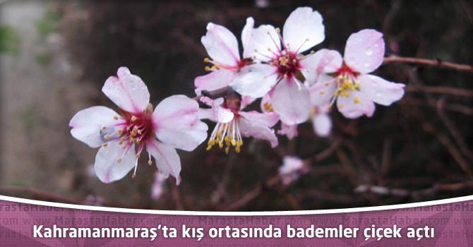 Kahramanmaraş'ta kış ortasında bademler çiçek açtı